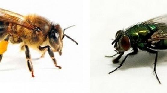Antara Lebah dan Lalat