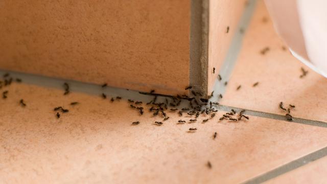 Hukum Membunuh Semut yang Mengganggu
